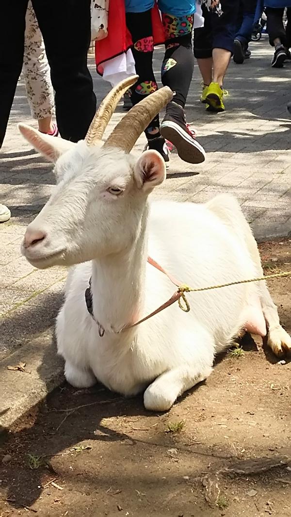 修験deパン。山羊の乳搾り体験。